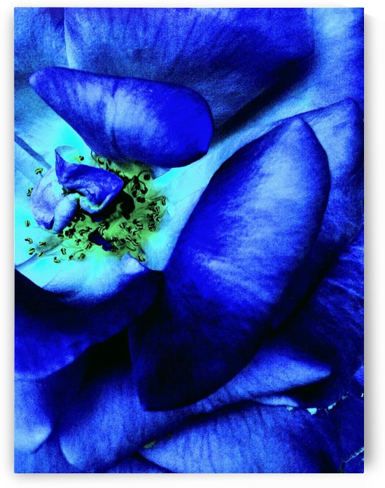Art of the blue rose 3  by Jeremy A. Lyman