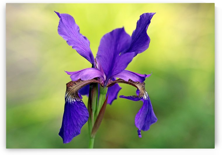 Beauty Of Siberian Iris by Deb Oppermann