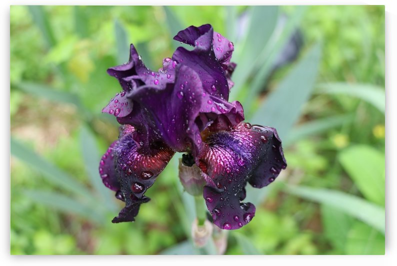 Purple Iris by Deb Striker