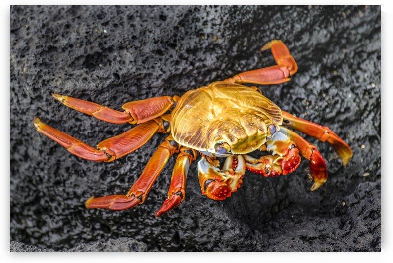 Colored Crab at Galapagos Island, Ecuador by Daniel Ferreia Leites Ciccarino
