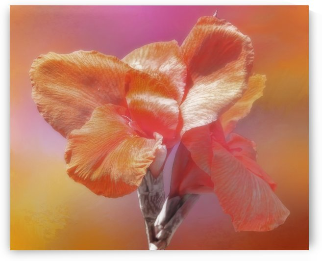 Canna Lily by HH Photography of Florida