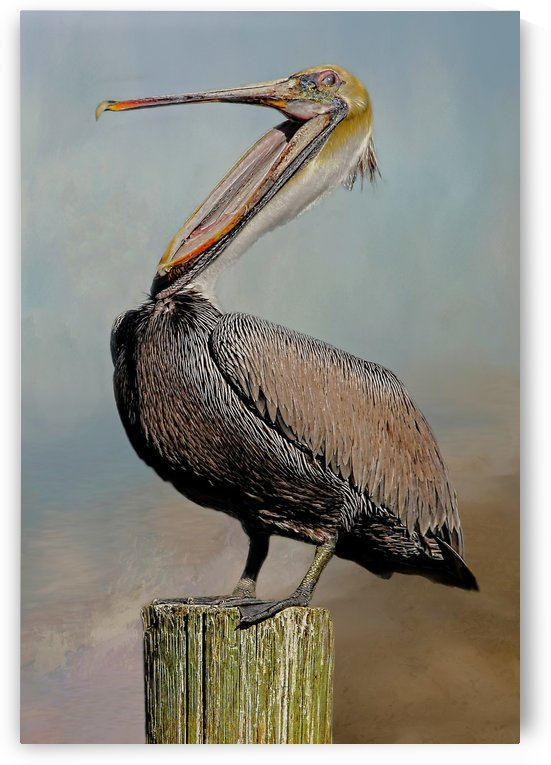 Belly Laugh-Brown Pelican  by HH Photography of Florida