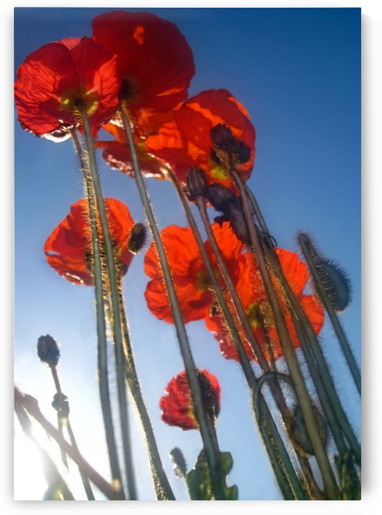 Tall Poppies by Jaeda DeWalt