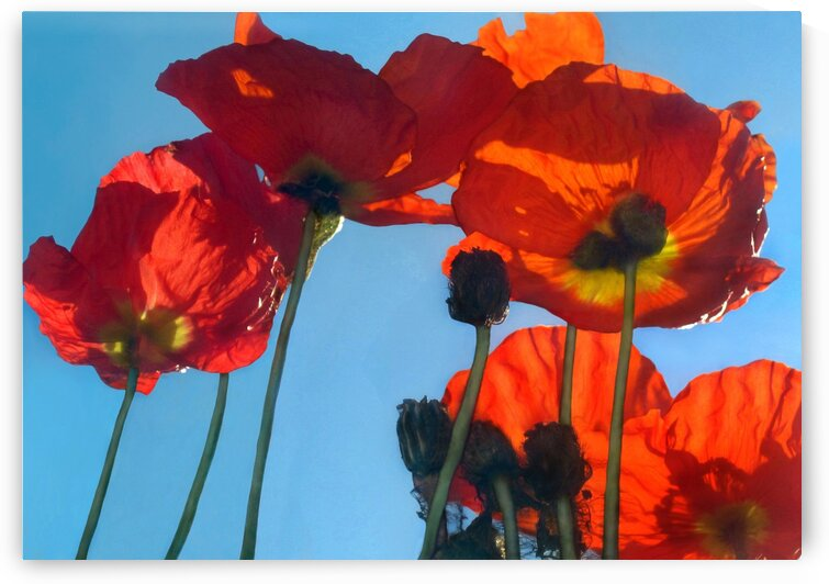 Poppies in the Sky by Jaeda DeWalt