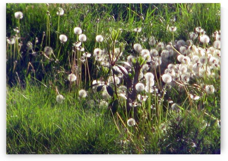 Sunlit Dandelions by Jaeda DeWalt