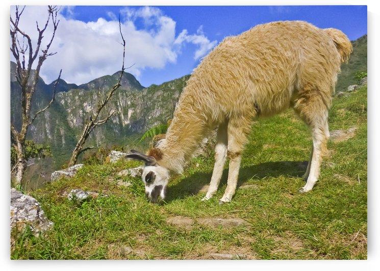 Andean Llama, Macchu Picchu   Peru by Daniel Ferreia Leites Ciccarino