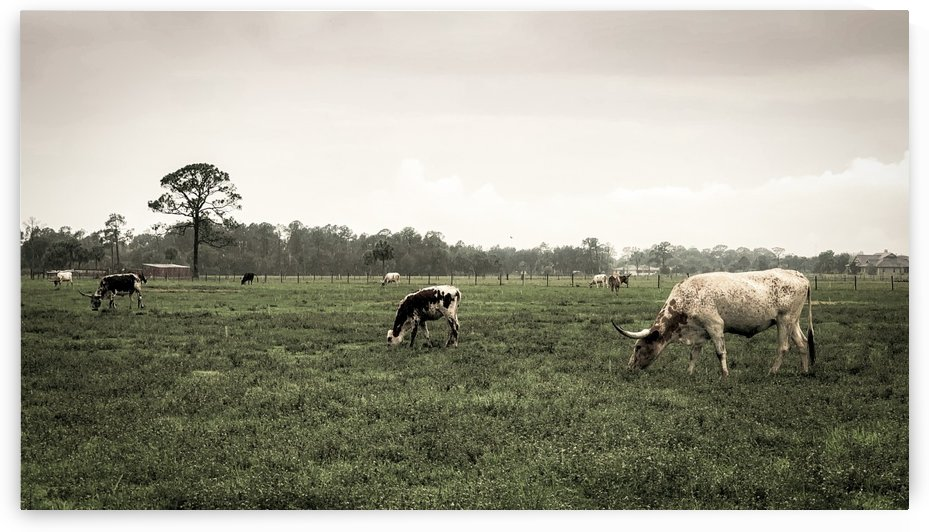 Grazing cattle by By the C Media