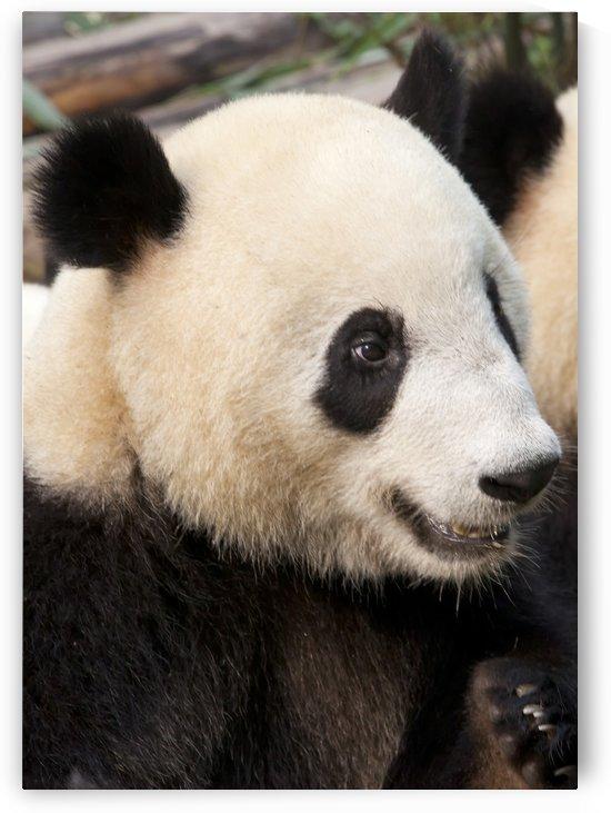 Panda by Eliot Scher