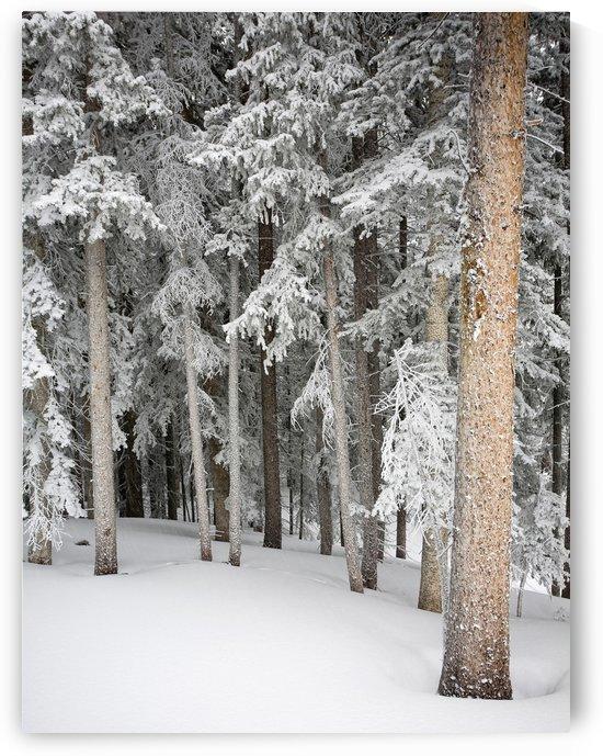 Taos Trees by Eliot Scher