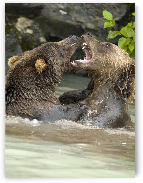 Alaskan Bears by Eliot Scher