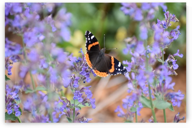 Butterfly in The Mint by Katy Schertz