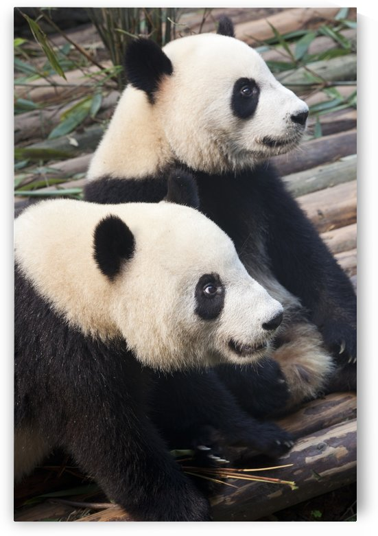 Panda Pair by Eliot Scher