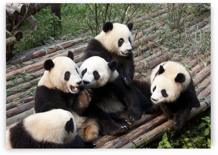 Panda In A Bar by Eliot Scher