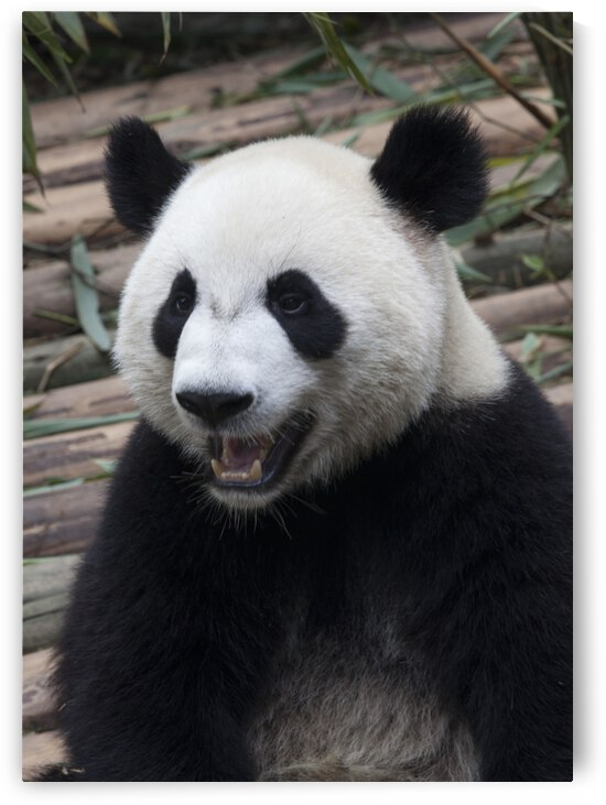 Amazing Panda by Eliot Scher