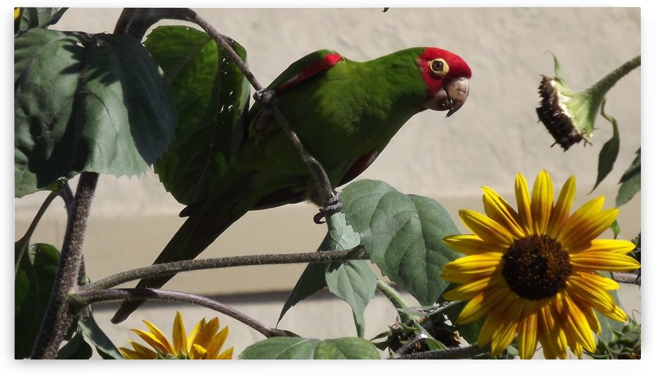 Wild Mexican Parrot in Garden Sunflowers by Linda Peglau