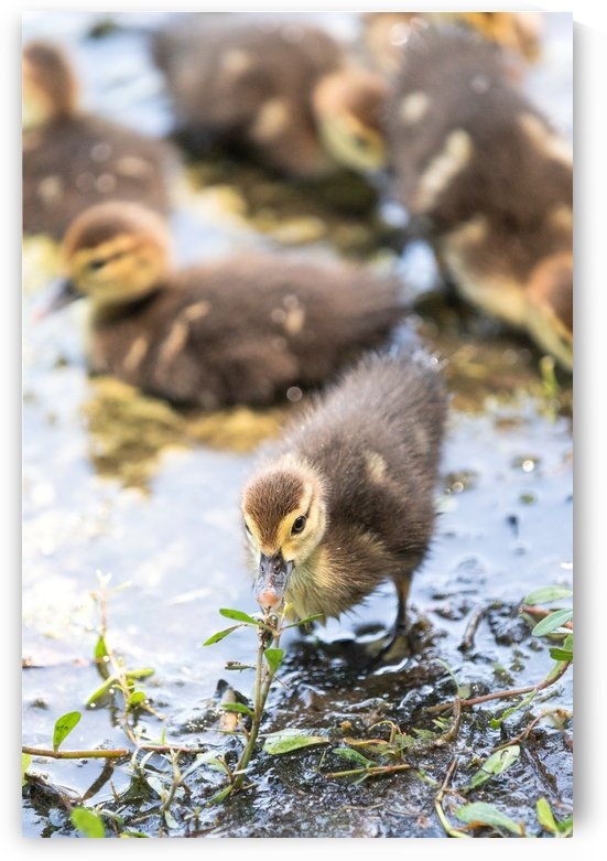 Baby - Baby Duck by Mentor Mala