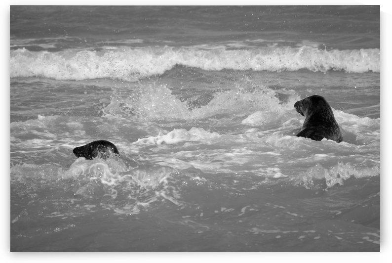 Seals at play by Phillip Watson