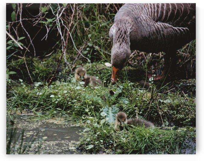 Goslings by Phillip Watson