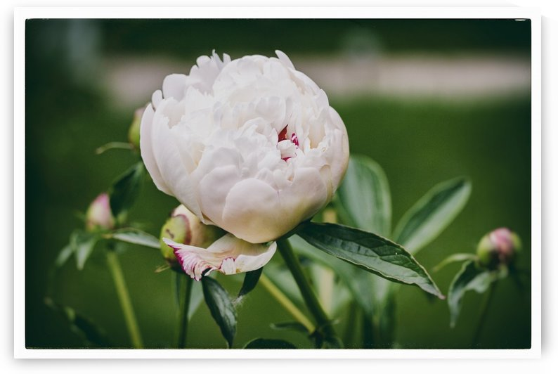 White Peony by Alexis Arnold