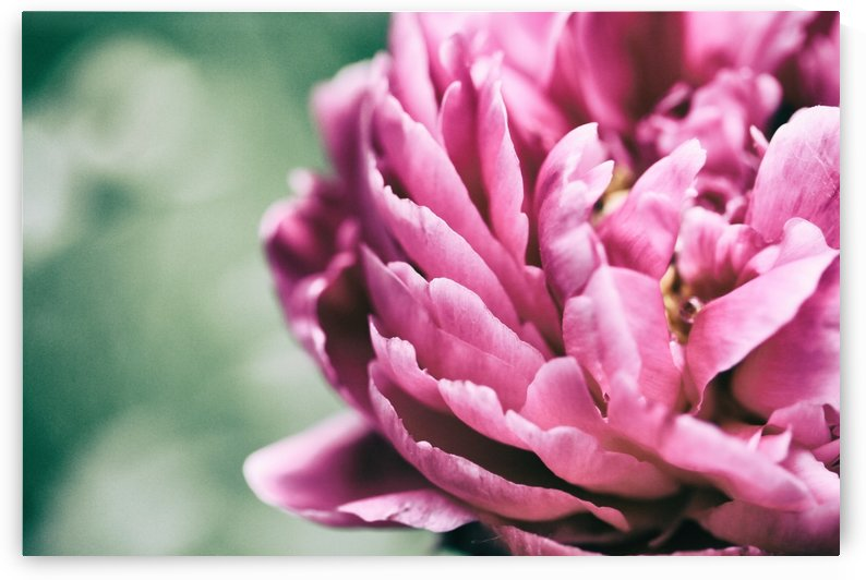 Hot Pink Peony by Alexis Arnold