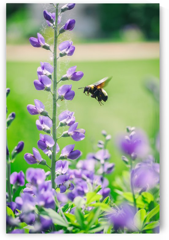 Bee In Flight by Alexis Arnold