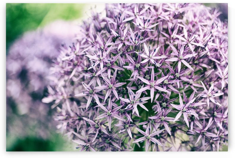 Allium in Bloom by Alexis Arnold