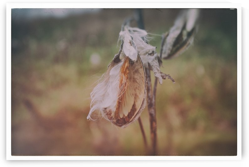 Milk Weed by Alexis Arnold