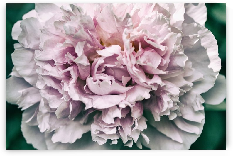 Peony by Alexis Arnold