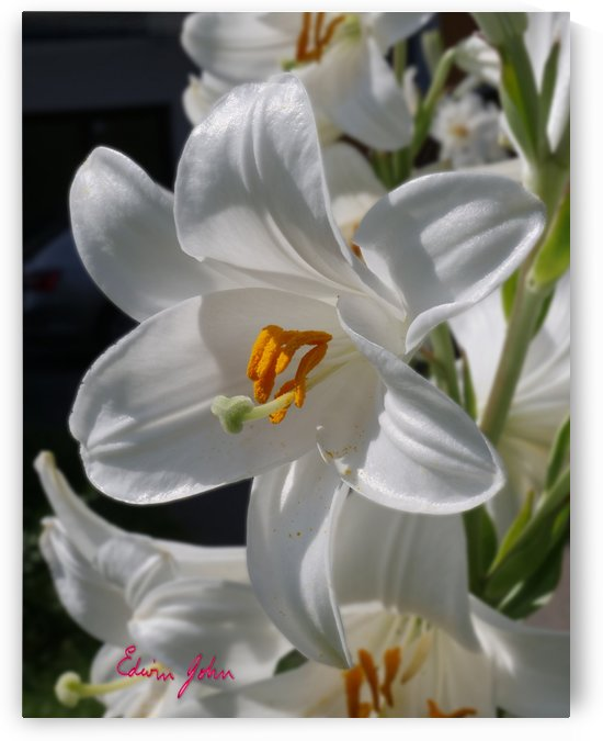 Lilium Candidum  Madonna Lily - Summer has arrived  by Edwin John