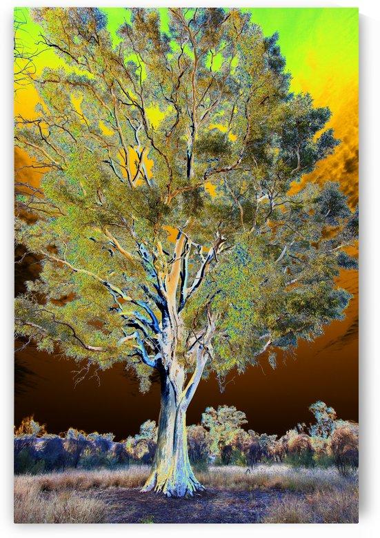 Ghost Gum Tree by Eliot Scher