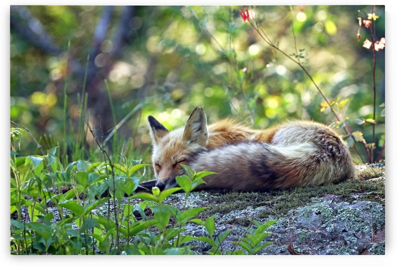 Nap Time For Red Fox by Deb Oppermann