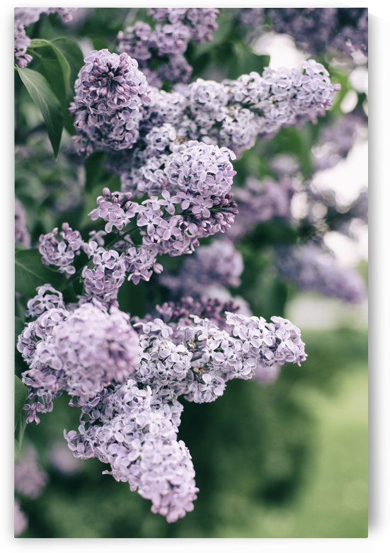 Lilacs in Spring by Alexis Arnold