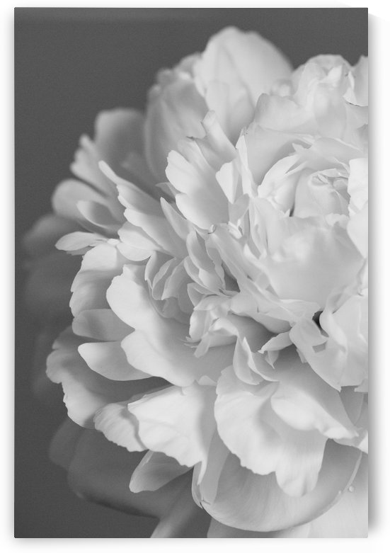 Peony in Black & White by Alexis Arnold