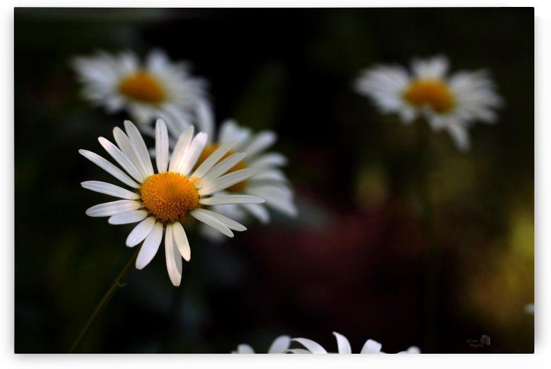 Magnifiques Marguerites- Magnificent Daisy by Sylvain Bergeron Photographies
