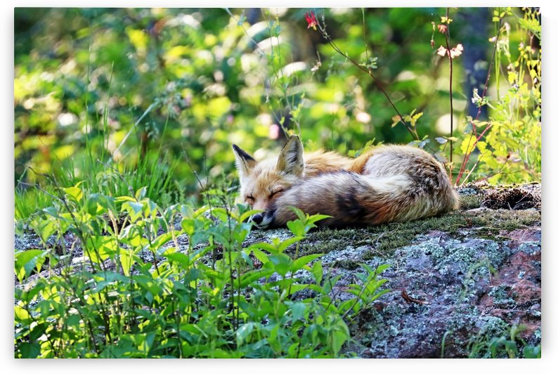 Nap Time For Red Fox I by Deb Oppermann