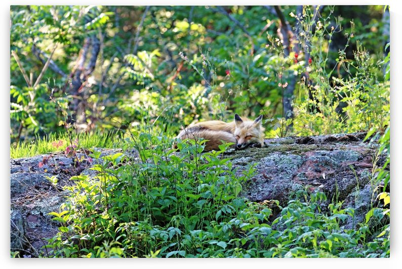 Nap Time For Red Fox II by Deb Oppermann