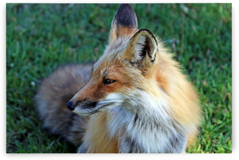 Red Fox Profile by Deb Oppermann