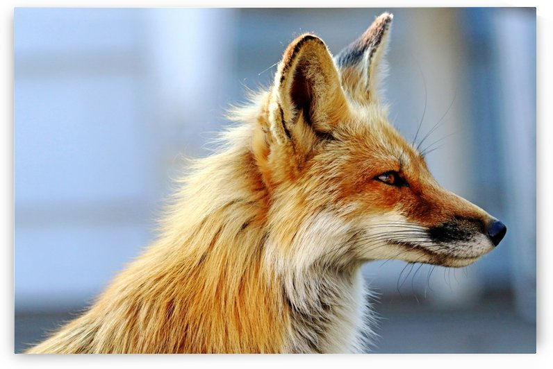 Ears Perked Red Fox Profile by Deb Oppermann