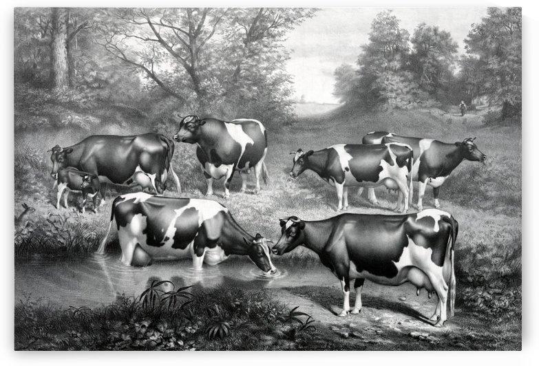 holstein fresian cows fresian cows by Shamudy