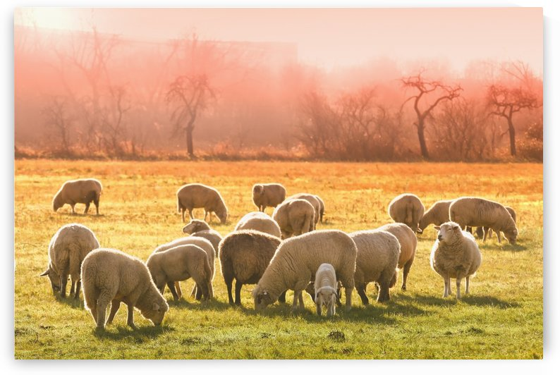 animal sheep flock of sheep meadow by Shamudy