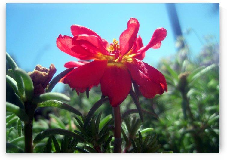 Red Summer Flower 1 by Jaeda DeWalt