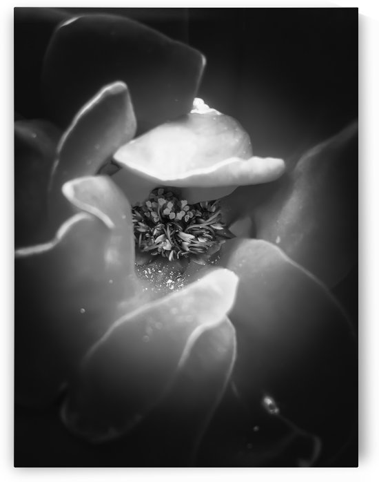 blooming rose with pollen in black and white by TimmyLA