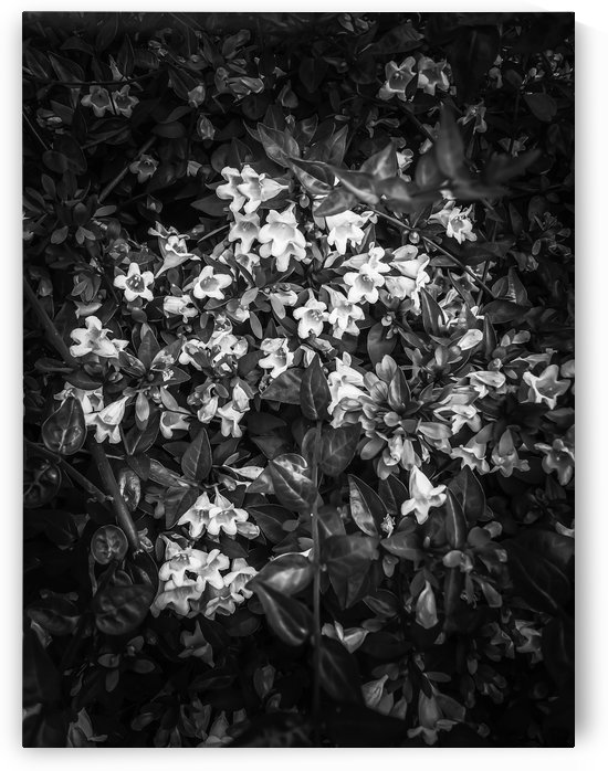 blooming flowers background in black and white by TimmyLA
