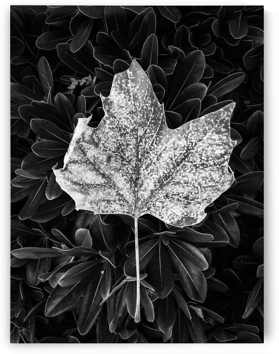 closeup leaves texture in black and white by TimmyLA
