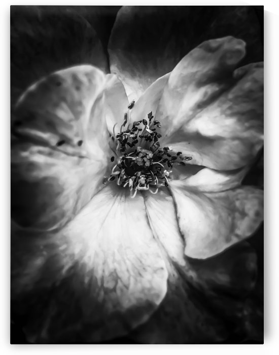 closeup blooming rose in black and white by TimmyLA
