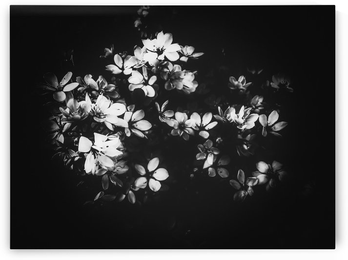 flowers background in black and white by TimmyLA