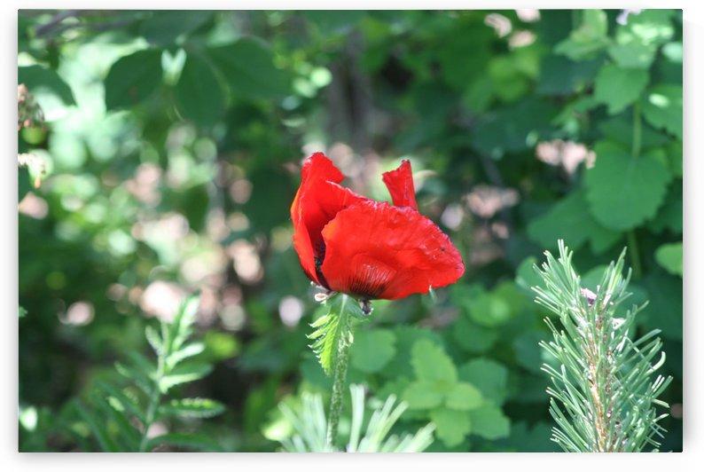 Lone poppy by Sherry Reynard