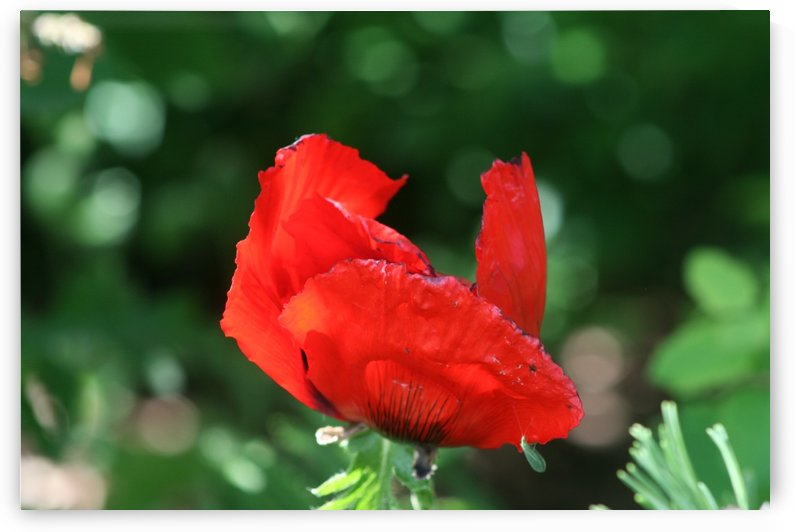 Red poppy by Sherry Reynard