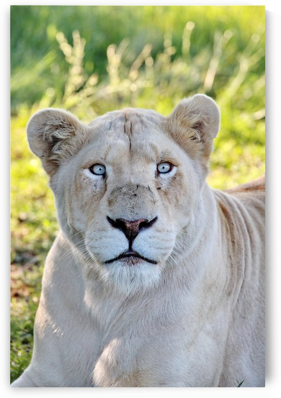 White Lion Female 7977 by Thula-Photography