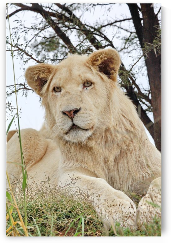 Young White Lion Male by Thula-Photography